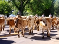 Greeley Stampede - Longhorns